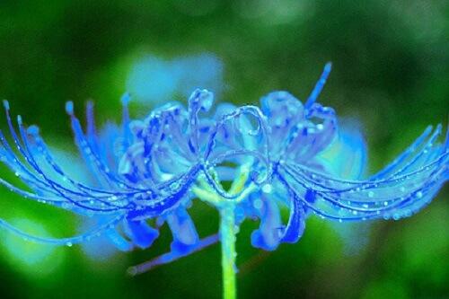 鬼滅の刃ー青い彼岸花